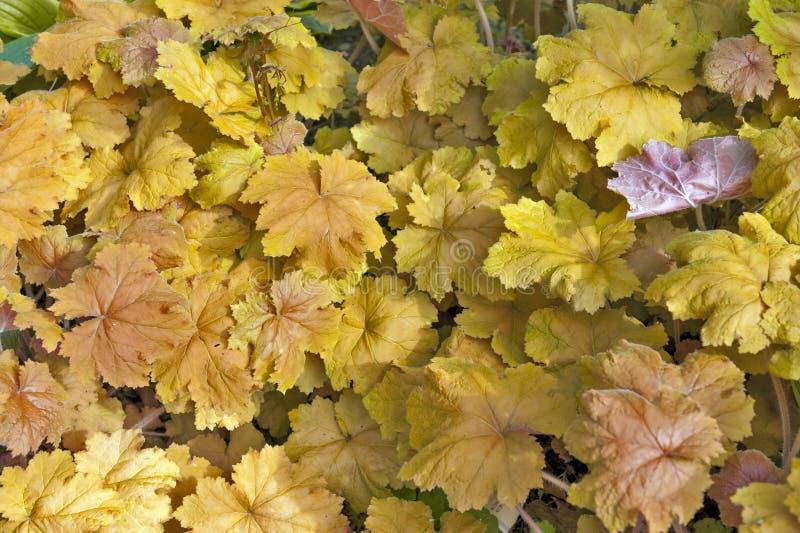 A uva amarela dourada sae no fundo da textura do outono fotografia de stock royalty free