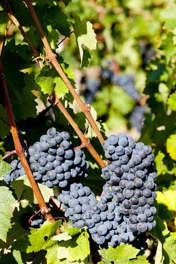uva azul na região do Bordéus, Aquitaine, França imagem de stock