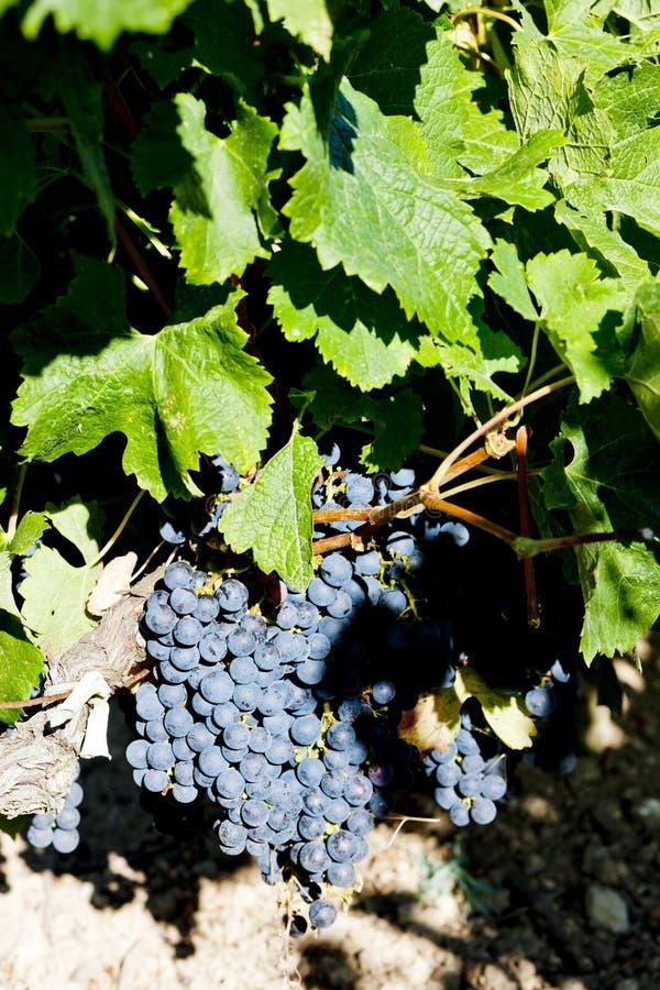 uva azul na região do Bordéus, Aquitaine, França fotos de stock royalty free