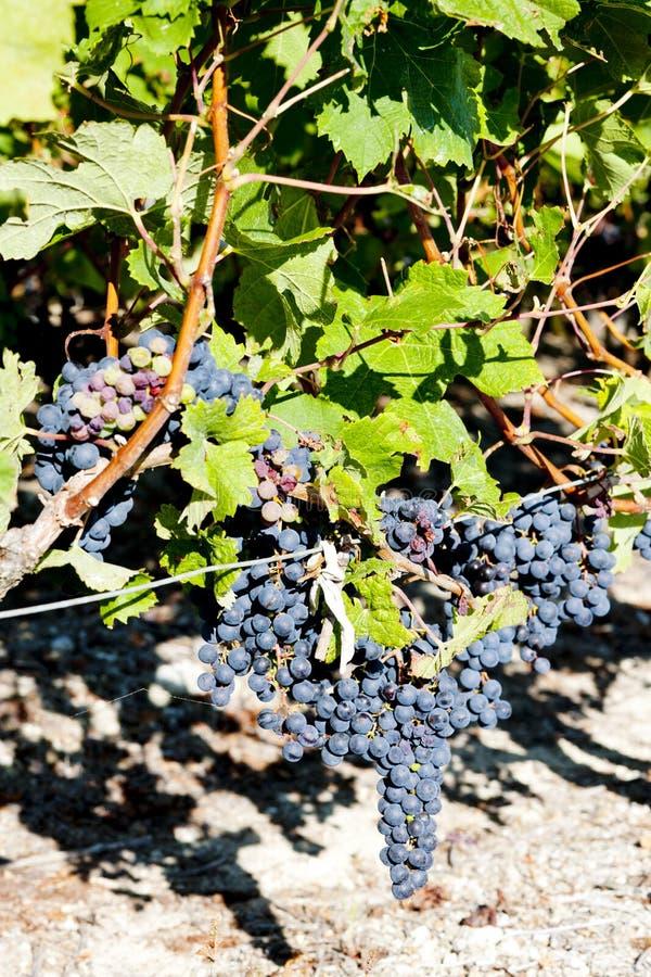 uva azul na região do Bordéus, Aquitaine, França imagens de stock