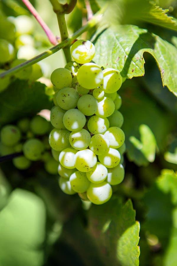 Uva bianca che pende dalla vite verde con il fondo vago della vigna immagini stock