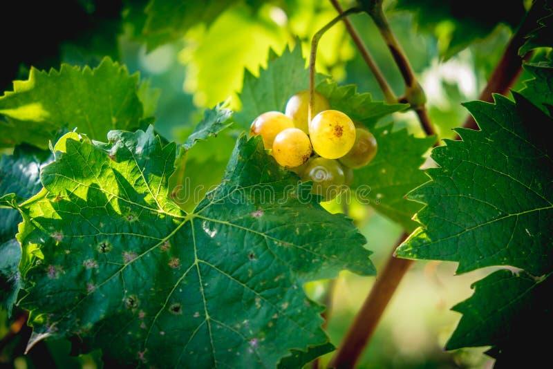 Uva bianca della vigna che appende nella stagione di raccolta tarda immagini stock libere da diritti