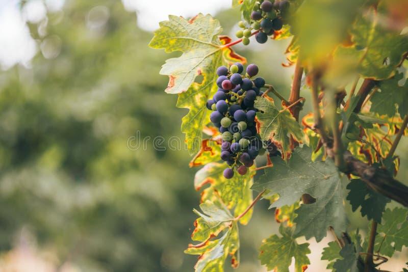 Uva blu in una vigna al tramonto, vigne della Crimea fotografia stock libera da diritti