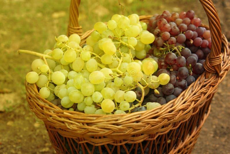 Uva in cestino Primo piano del canestro tessuto con l'uva blu e bianca matura Merce nel carrello del mazzo dell'uva blu e bianca  immagini stock libere da diritti