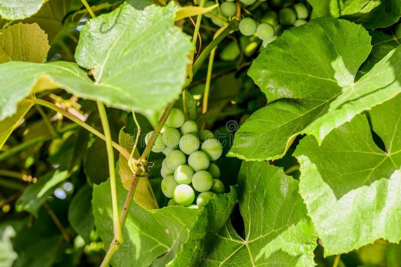 Uva che cresce sulla vite - primo piano degli acini d'uva organici nella vigna fotografia stock libera da diritti