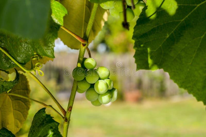 Uva che cresce sulla vite - un primo piano ha sparato di un mazzo di acini d'uva bianchi maturi che appendono su una vite che bag fotografie stock