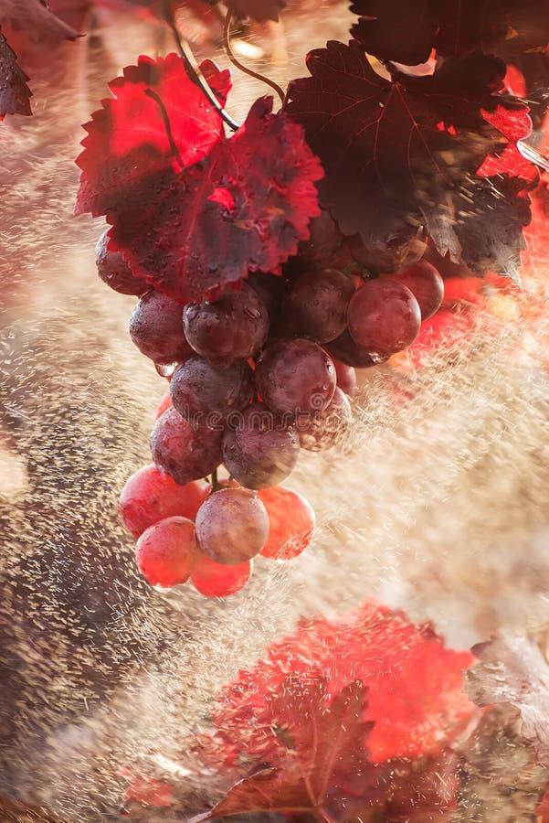 Uva cor-de-rosa das uvas entre as folhas do vinhedo no pulverizador da água Um dia ensolarado do outono em um vinhedo foto de stock