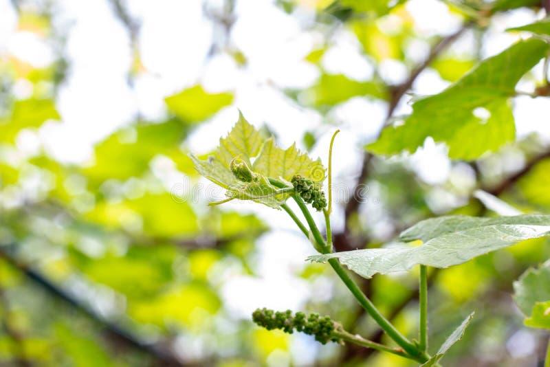A uva crescente verde nova fresca sae em um jardim do vinhedo na mola e no verão fotos de stock royalty free