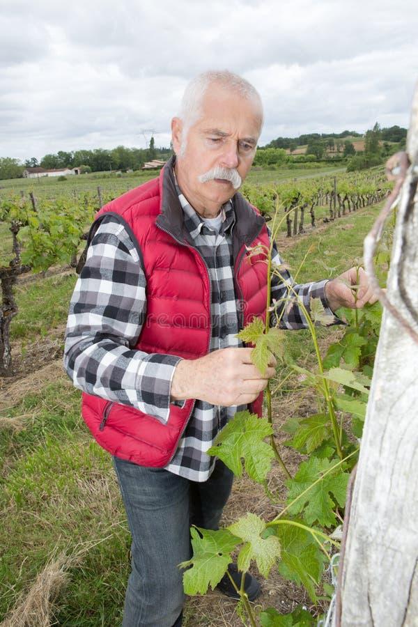 Uva d'esame del vinaio durante l'annata fotografia stock