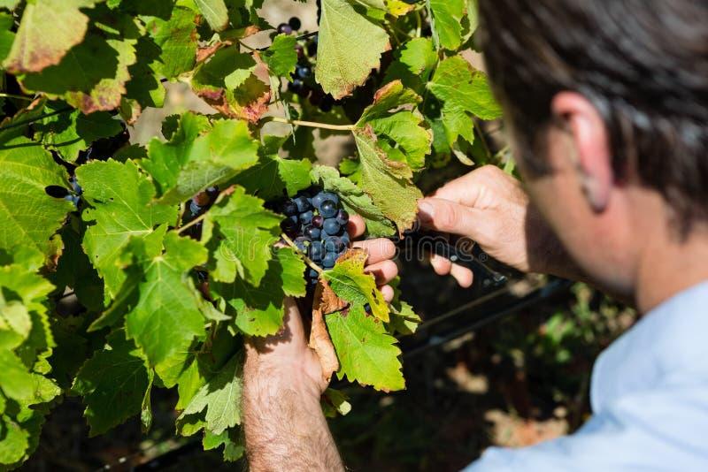 Uva d'esame del vinaio in vigna immagine stock