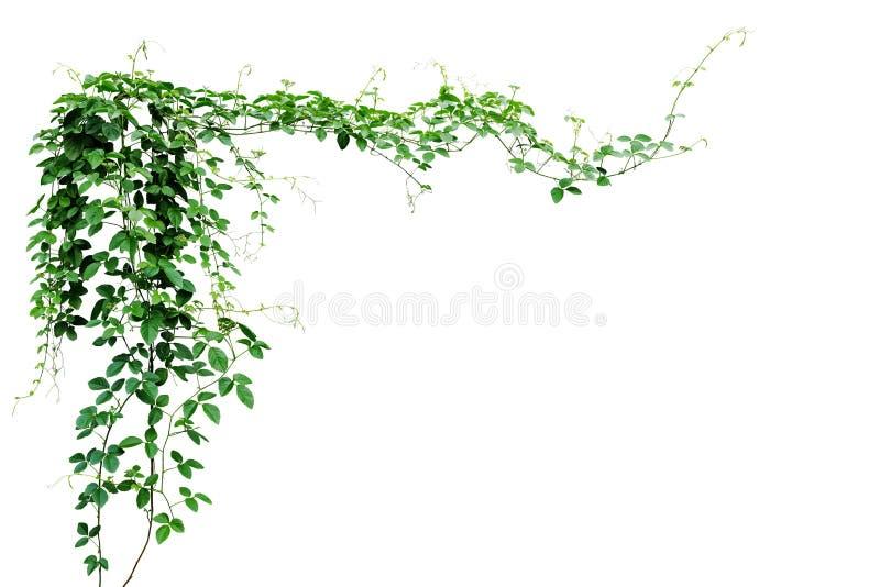 Uva de Bush ou trifolia selvagem três-com folhas de Cayratia do cayratia da videira imagem de stock royalty free