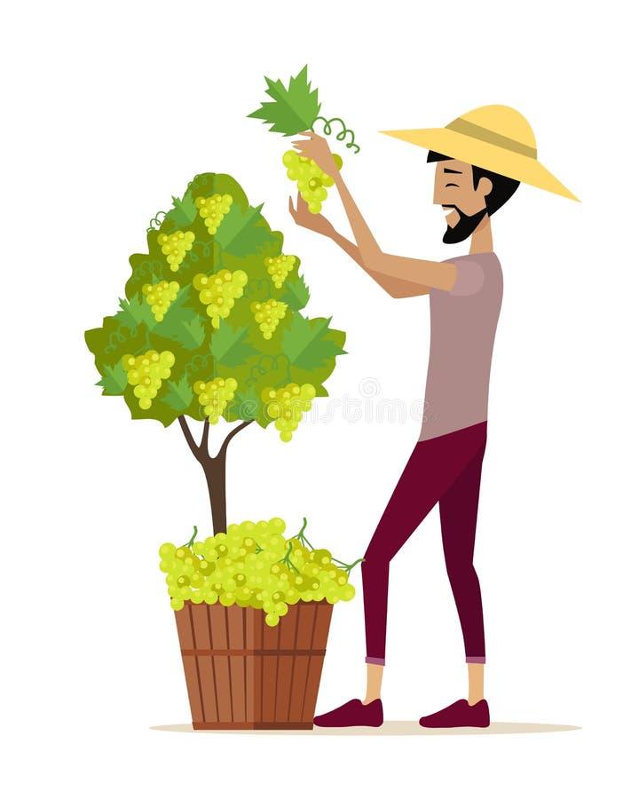 Uva de la cosecha del hombre durante cosecha del vino libre illustration