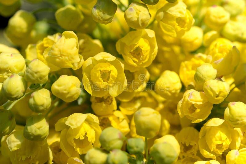 Uva de Oregon (aquifolium do Mahonia) fotografia de stock