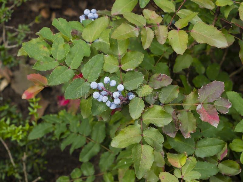 Uva de Oregon, aquifolium do Mahonia, bagas com folhas, macro, foco seletivo, DOF raso fotos de stock royalty free