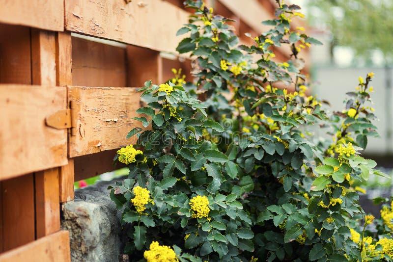 Uva de Oregon da flor, aquifolium de florescência do Mahonia Aquifol do Mahonia imagem de stock