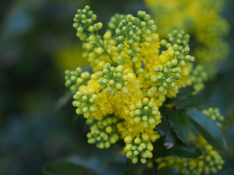 Uva de Oregon del aquifolium del Mahonia fotografía de archivo libre de regalías