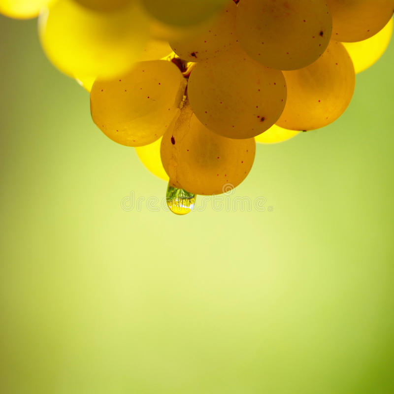 Uva de vino amarillo con descenso de rocío fotografía de archivo libre de regalías