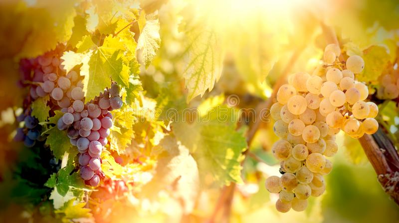Uva de vino de Riesling de las uvas blancas y rojas de la uva - en vides, en vid en viñedo fotografía de archivo libre de regalías