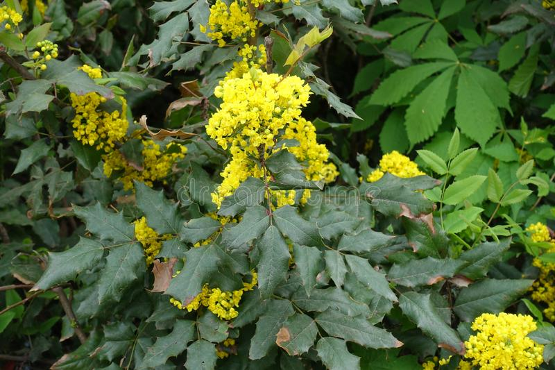 Uva del acebo con las flores amarillas brillantes foto de archivo