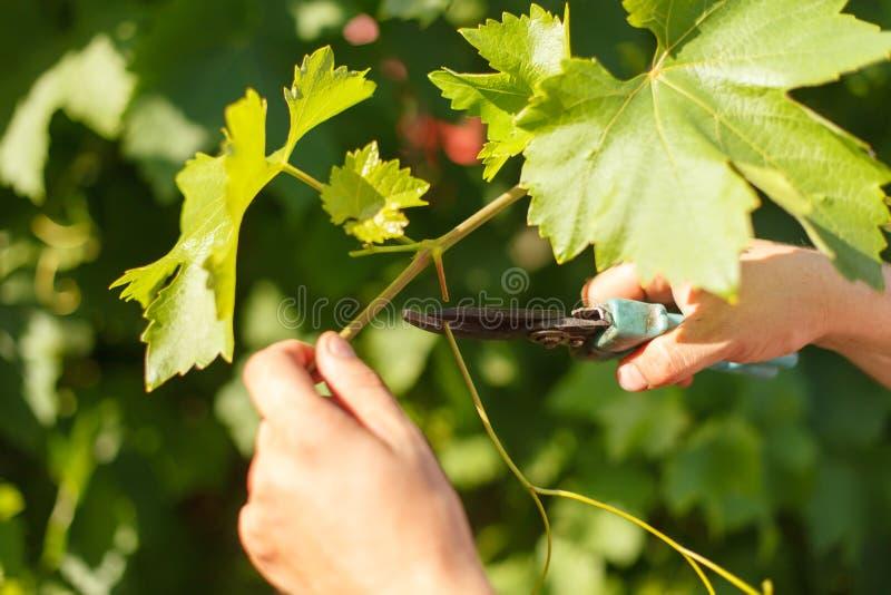 Uva del corte de la mano del ` s del viticultor en el viñedo por el tiempo soleado imagenes de archivo