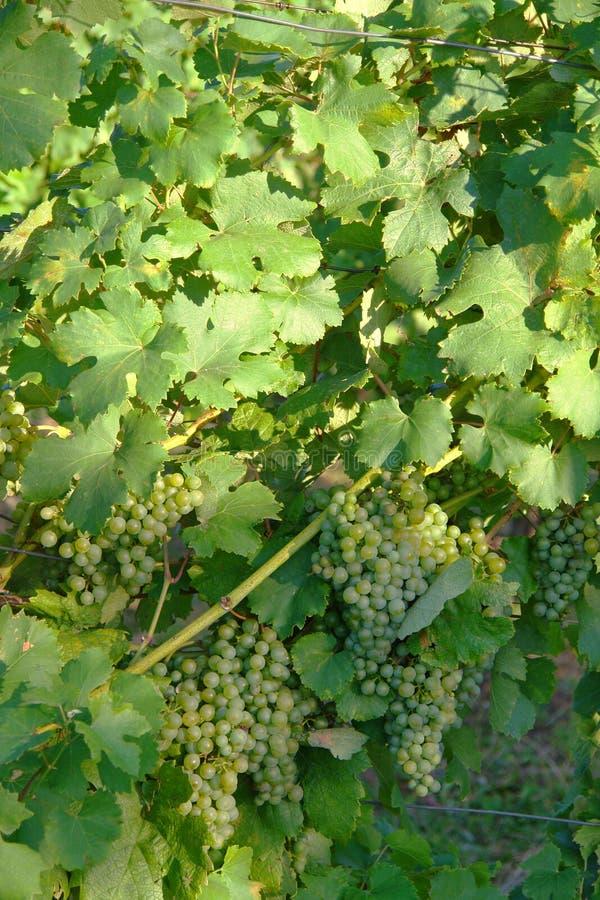 Uva del vino imagen de archivo libre de regalías