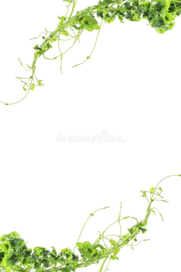 Uva di Bush o cespuglio selvaggio tre-leaved della pianta dell'edera della liana di trifolia di Cayratia di cayratia della vite,  immagini stock