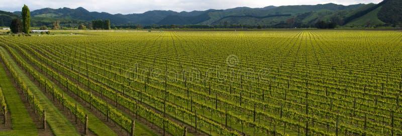 Uva di Chardonnay Pano fotografie stock