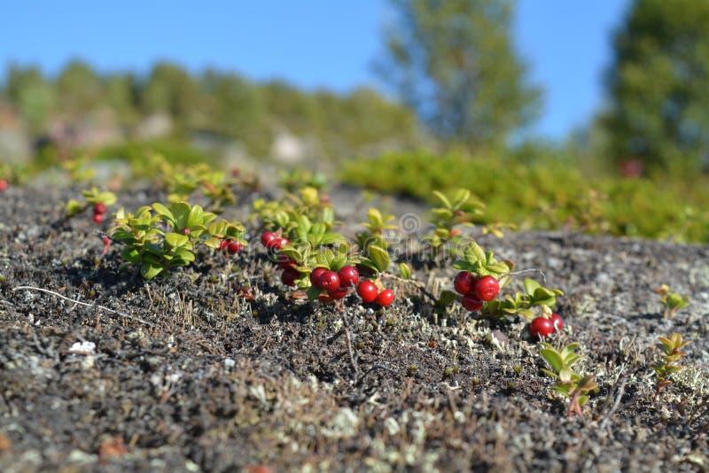 Uva di monte della foresta su una roccia coperta di muschio fotografia stock