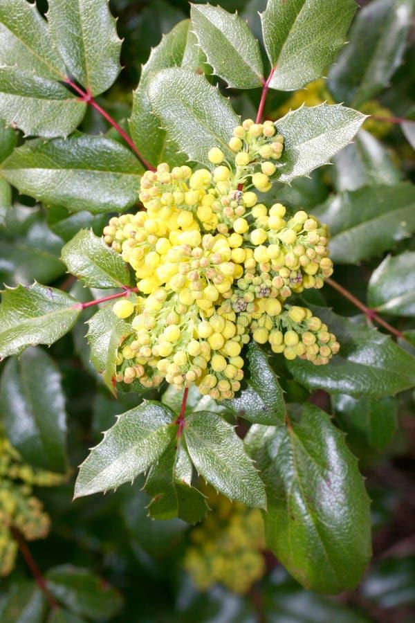 Uva di Oregon (Mahonia) fotografia stock