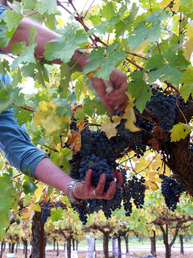 Uva di raccolto per vino immagine stock