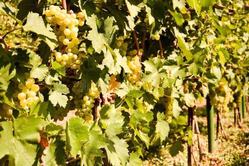 Uva di Shardonnay immagine stock libera da diritti