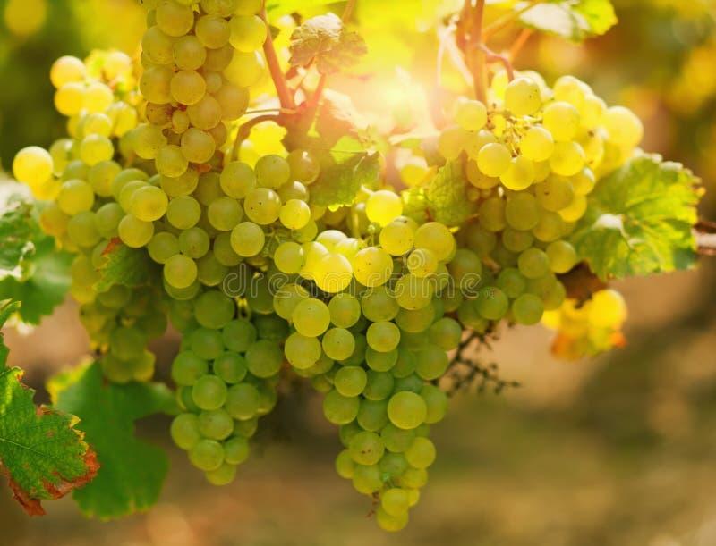 Uva di Shardonnay fotografia stock