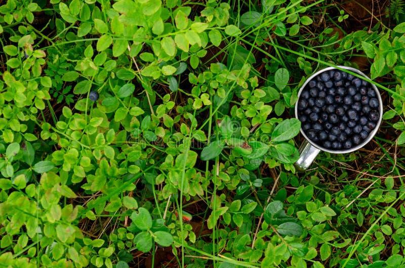 Uva-do-monte no copo na uva-do-monte fresca da floresta no copo na terra no copo da floresta A da uva-do-monte fotos de stock