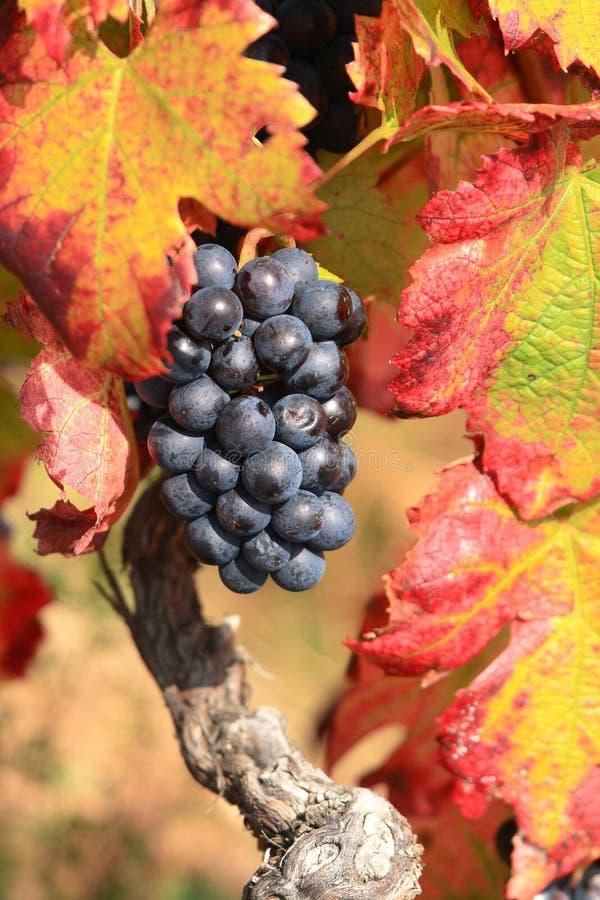 Uva e fogli di autunno rossi fotografie stock