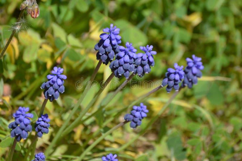 Uva Hyacinth Muscari Blue Flowers fotos de archivo libres de regalías