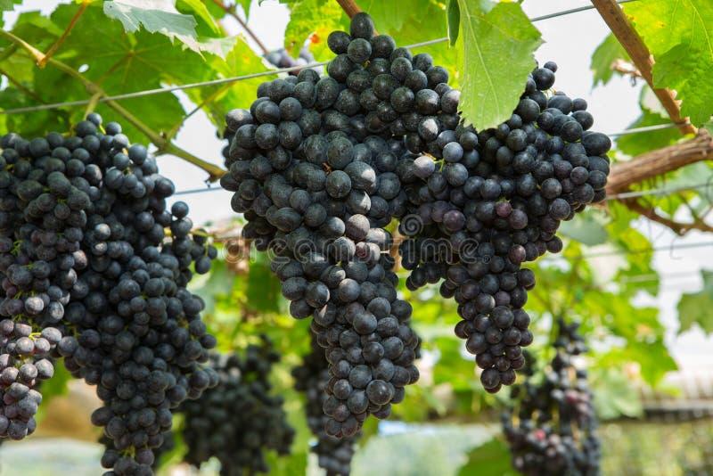 Uva negra en el viñedo orgánico imagen de archivo libre de regalías