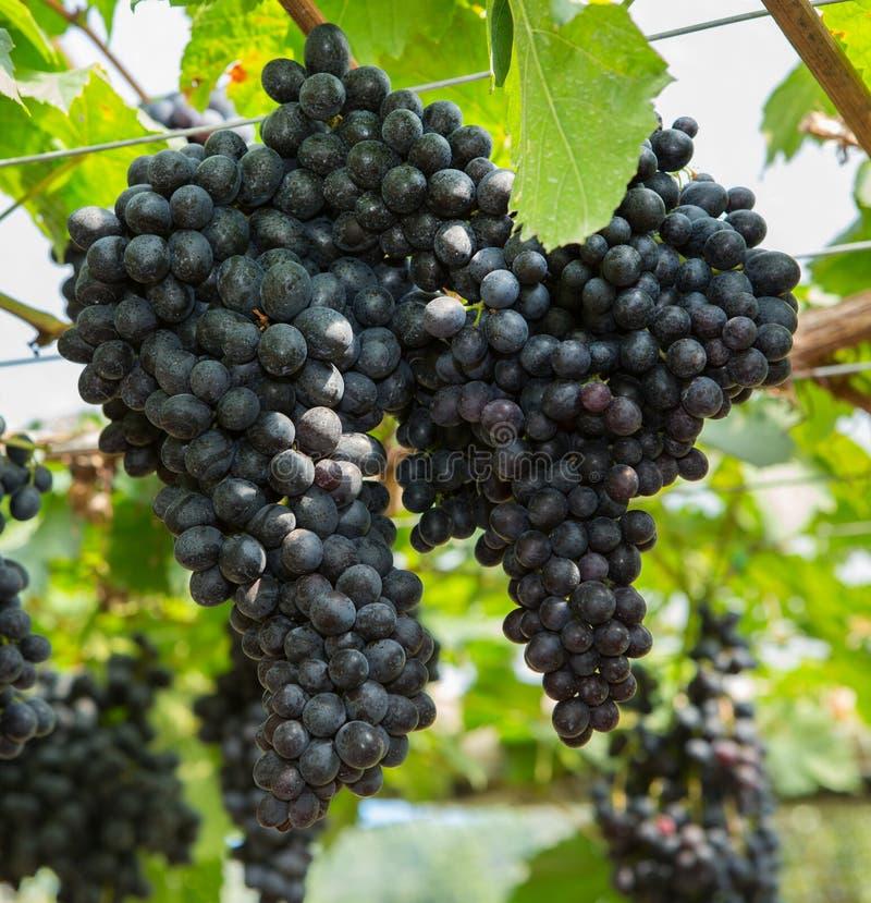 Uva negra en el viñedo orgánico foto de archivo libre de regalías