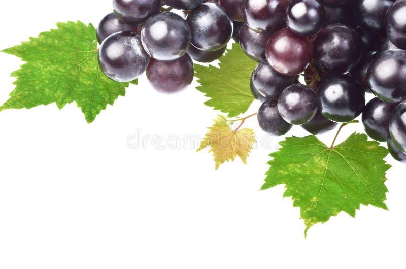 Uva nera con la foglia isolata su fondo bianco fotografia stock libera da diritti
