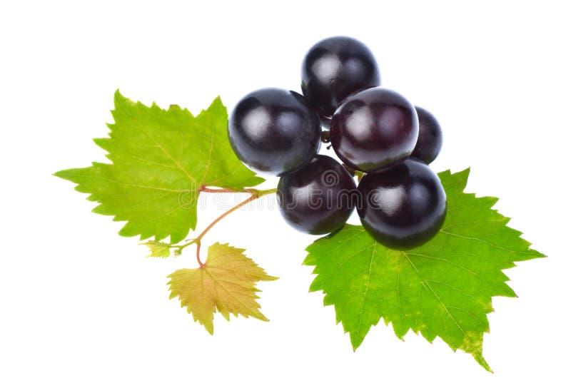 Uva nera con la foglia isolata su fondo bianco fotografia stock
