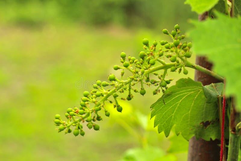 Uva non matura sulla vite Giovane ramo dell'uva sulla natura Uva crescente nella vigna Vino crescente da vendere giovane fotografia stock