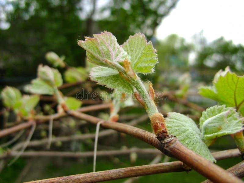 A uva nova com as folhas crescentes pequenas fecha-se acima no fundo borrado mola do vinhedo foto de stock