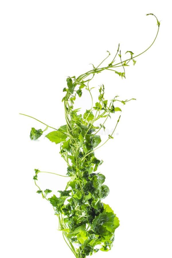 Uva o arbusto salvaje trifoliado de la planta de la hiedra de la liana del trifolia de Cayratia del cayratia de la vid, frontera  foto de archivo