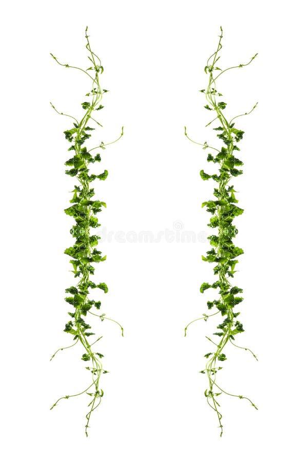Uva o arbusto salvaje trifoliado de la planta de la hiedra de la liana del trifolia de Cayratia del cayratia de la vid, frontera  fotografía de archivo