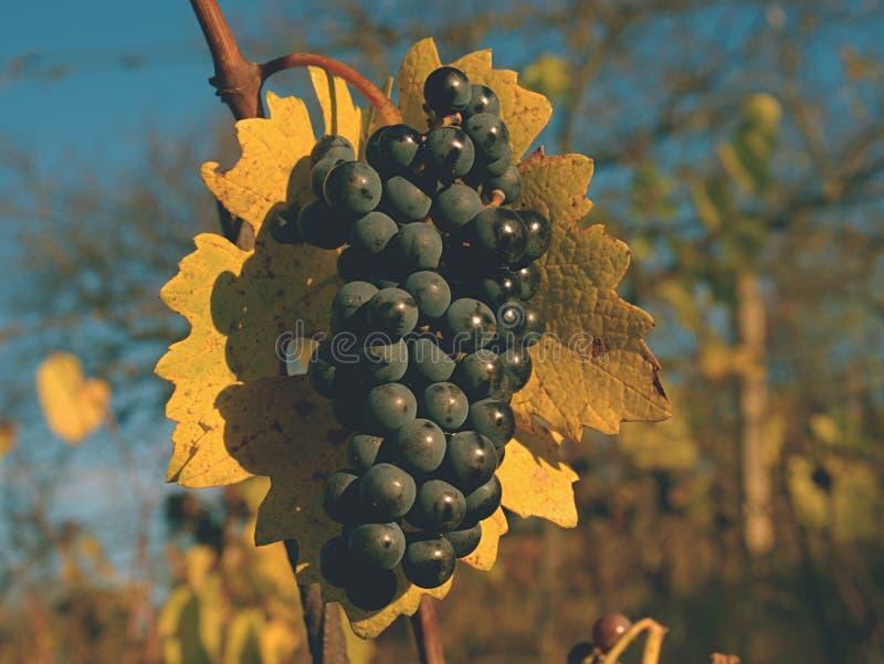 Uva orgânica em ramos da videira Fundo da agricultura Folhas amarelas do vermelho alaranjado fotografia de stock royalty free