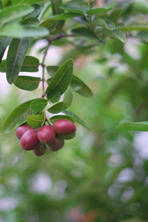 Uva passa del Bengala immagini stock