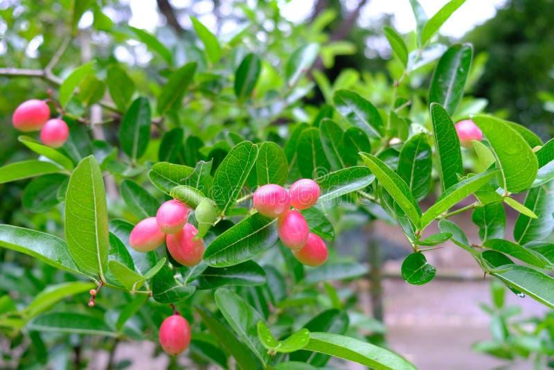 Uva passa del Bengala, prugna di carandá, frutta fresca di Carunda o di Karanda fotografia stock