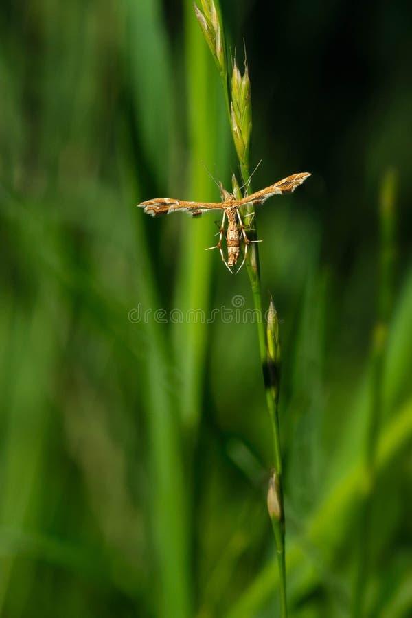 Uva Plume Moth imagen de archivo libre de regalías