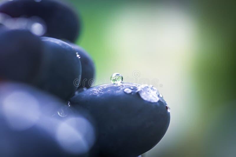 Uva preta de cabernet, vinho tinto feito a partir dessas uvas Uvas Cabernet Sauvignon uvas para viticultores vinho tinto Colheita foto de stock royalty free