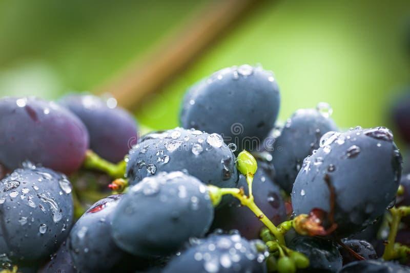 Uva preta de cabernet, vinho tinto feito a partir dessas uvas Uvas Cabernet Sauvignon uvas para viticultores vinho tinto Colheita fotos de stock