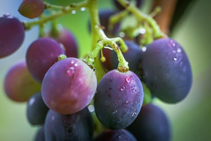 Uva preta de cabernet, vinho tinto feito a partir dessas uvas Uvas Cabernet Sauvignon uvas para viticultores vinho tinto Colheita imagem de stock royalty free